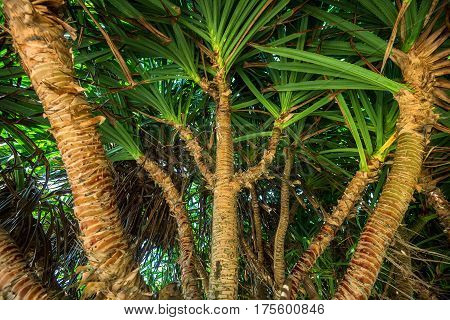 Screw Pine or Pandanus grows on sea shore