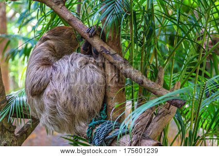 Three-toed sloth hanging on tropical tree branch