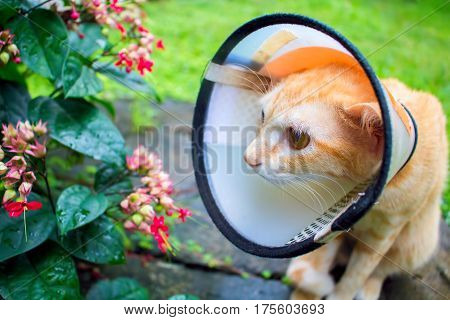Cute cat in protective cover on head. Injured cat after the surgery operation. Sad kitty after sickness. Medical care of domestic animal. Pet wearing plastic collar on neck. Veterinarian care banner