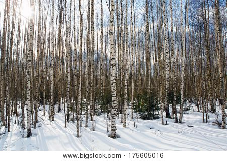 forest, birch, spring, white, panorama, landscape, panoramic, trees, tree, grove, nature, bark, bright, beautiful, trunk, reserve, black, background, trunks, natural, outdoor, nobody, wood, winter, park, vertical, branch, rural, scenic, tranquil, scenery,