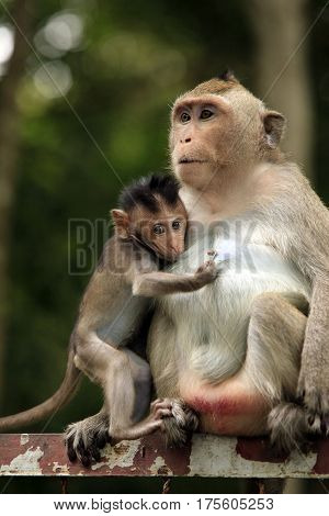 Family of wild monkeys in forest. Cambodia