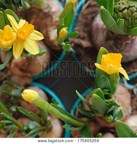 Yellow narcissus flowers and a closed hyacinth in light blue gardening pots. Top view