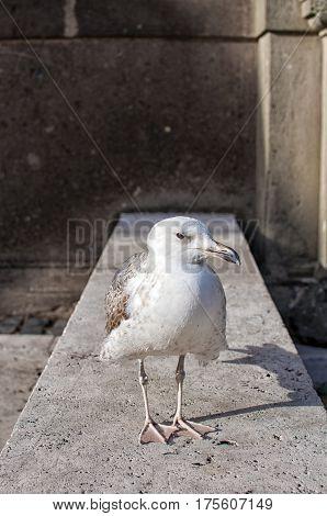 legged Gull (Larus michahellis) in Rome, Italy