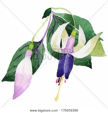 Wildflower fuchsia flower in a watercolor style isolated. Full name of the plant: purple fuchsia. Aquarelle wild flower for background, texture, wrapper pattern, frame or border.