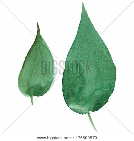 Wildflower fuchsia flower leaf in a watercolor style isolated. Full name of the plant: purple fuchsia leaf. Aquarelle wild flower for background, texture, wrapper pattern, frame or border.