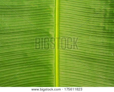 Green leaf close-up texture. Natural backdrop. Natural leaf pattern. Tropical nature concept image. Fresh green banana leaf background for banner template or package design. Palm leaf macro photo