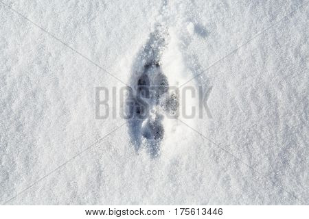 The footprint of a natural wolf. The animal tracks in the snow. Print trace of the predator in the winter.