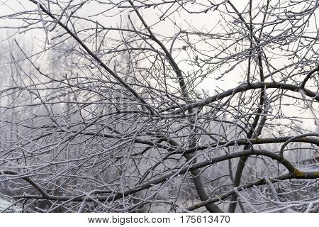 Frosty tree in the morning with branches covered with hoarfrost and tree stem with moss against sky. Frost background. Frosty tree.