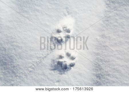 The footprints of a natural animal tracks in the snow. Print trace of the predator in the winter.