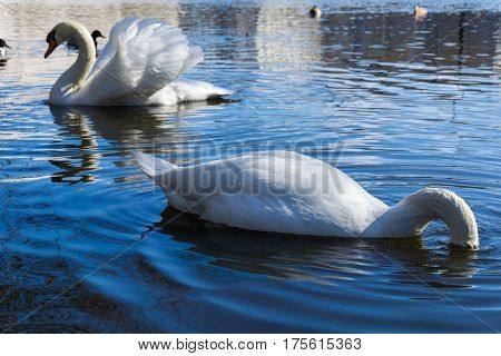 Close-up of a beautiful swan. White swans at the lake. Swimming Swan (Cygnus) in Spring. Diving Swan
