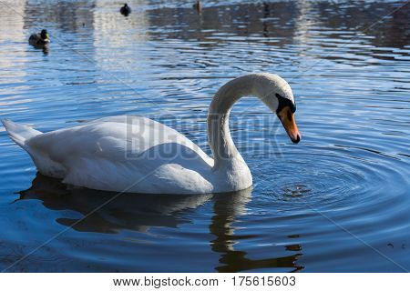 Close-up of a beautiful swan. White swans at the lake. Swimming Swan (Cygnus)