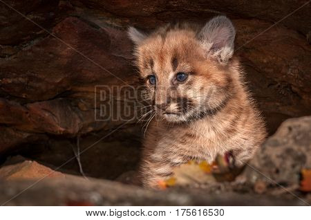 Female Cougar Kitten (Puma concolor) Tucked in Rock Crevice - captive animal
