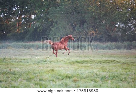 one galloping horse on pasture in morning