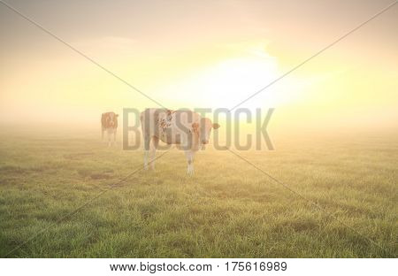 cows on pasture at sunrise in summer