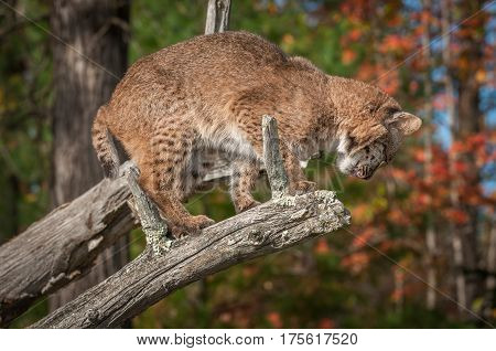 Bobcat (Lynx rufus) Looks Down to Jump - captive animal