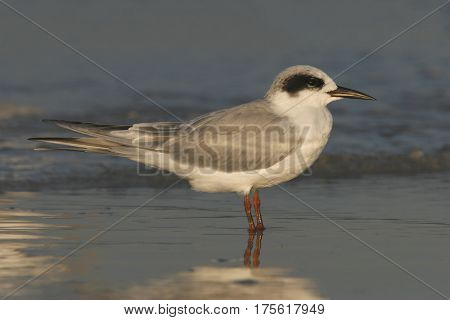 A Forster's Tern, Sterna forsteri standing in shallow water at the tide line on Florida beach showing it's winter plumage