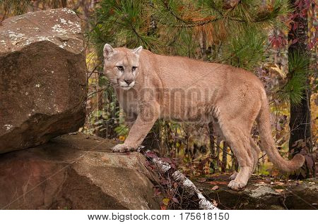 Adult Male Cougar (Puma concolor) Looks Back Atop Rock - captive animal