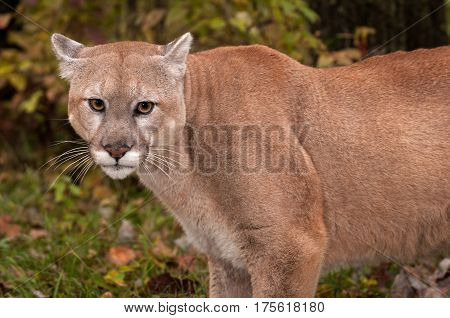 Adult Male Cougar (Puma concolor) Close Up Ears Back - captive animal