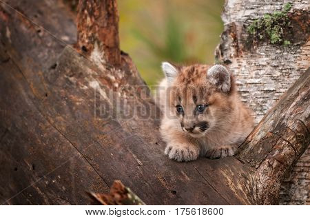 Female Cougar Kitten (Puma concolor) Looks Left From Tree - captive animal