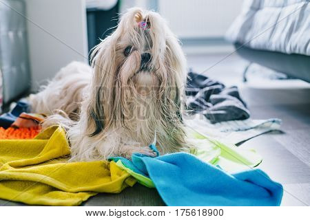 Shih tzu dog making mess at home and steal all rags and towels