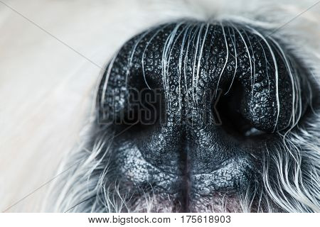 Shih tzu dog nose close-up view
