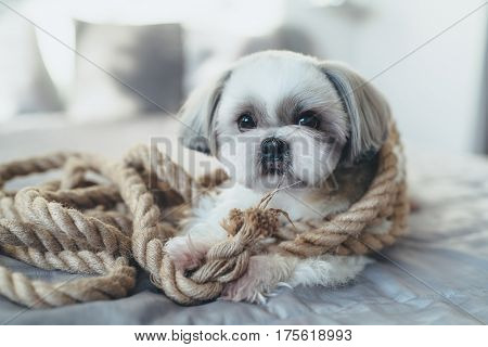 Shih tzu dog lying on bed and playing with big rope. Bright white colors.