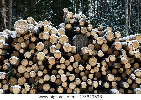 Pile of Felled tree trunks, prepared for export in the winter season. Stacked in stacks of sawn forest covered with snow. Industrial logging of pine trees. Nature is used by people.