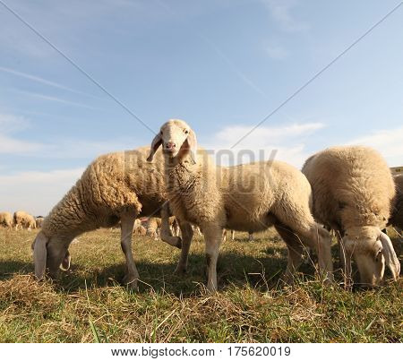 Many Sheep Of A Flock Grazing