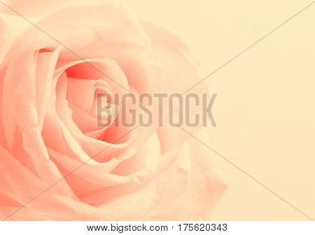Beautiful toned white rose close up can use as valentines day background. Wedding background. Soft focus. In Sepia toned. Retro style