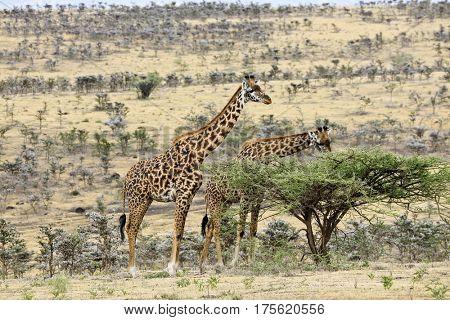 Two Masai giraffes graze in Ndutu in Tanzania