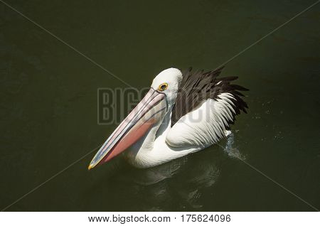 white Pelican with a pink beak beautiful floating on the surface of green pond water