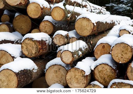 Felled trunks of pines trees prepared for export in the winter season. Stacked in stacks of sawn forest covered with snow. Industrial logging of pine trees. Nature is used by people.