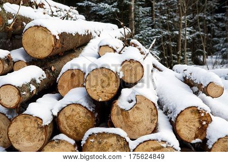Felled trunks of pine trees prepared for export in the winter season. Stacked in stacks of sawn forest covered with snow. Industrial logging of pine trees. Nature is used by people.