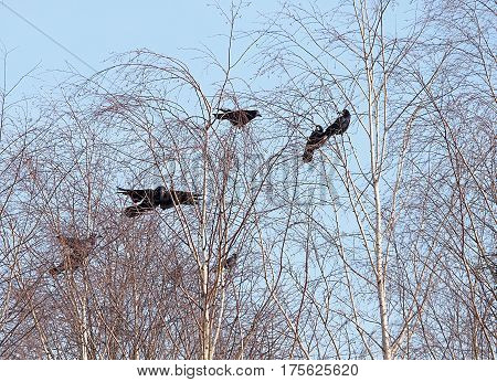 Ravens above the socket. Lodz, Poland - March 04, 2017 Raven Group built the nest on top of birch.