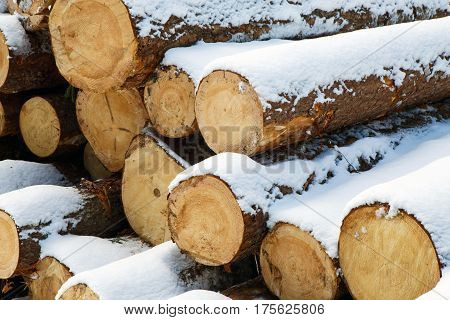 Trunks of large pines trees prepared for export in the winter forest. Stacked in stacks of sawn forest covered with snow. Industrial logging of pine trees. Nature is used by people.