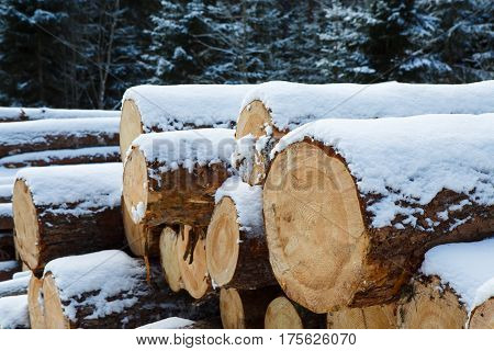 Trunks of large pine trees prepared for export in the winter season. Stacked in stacks of sawn forest covered with snow. Industrial logging of pine trees. Nature is used by people.
