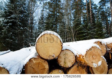 Trunks of large pine trees prepared for export in the winter forest. Stacked in stacks of sawn forest covered with snow. Industrial logging of pine trees. Nature is used by people.