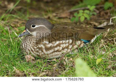 photo of a female Mandarin duck sitting on the grass