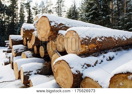Trunks of large pines trees prepared for export in the winter season. Stacked in stacks of sawn forest covered with snow. Industrial logging of pine trees. Nature is used by people.