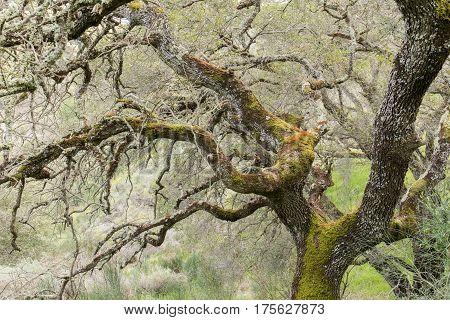 Oak Tree Covered with Fungi Lichen Algae. Almaden Quicksilver County Park, Santa Clara County, California, USA.