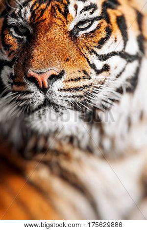 Close up of a Tigers face in zoo.