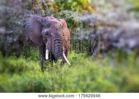 African elephant in the Tarangire National Park Tanzania