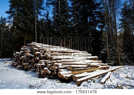 Large trunks of fallen pine trees prepared for export from the winter forest. Stacked in stacks of sawn forest covered with snow. Industrial logging of pine trees. Nature is used by people.