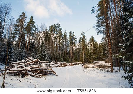 Landscape with Trunks of felled large pine trees are prepared for export from the winter forest. Stacked in stacks of sawn forest covered with snow. Industrial logging of pine trees. Nature is used by people.