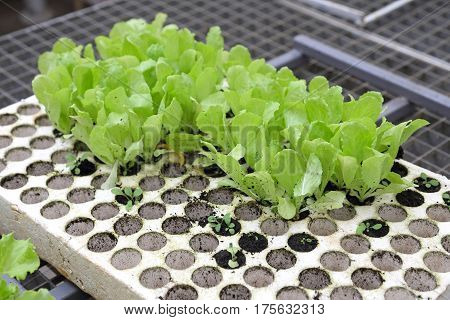 Salad Seedlings in Polystyrene Holder for Hydroponics Gardening
