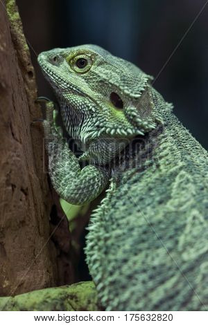 Central bearded dragon (Pogona vitticeps), also known as the inland bearded dragon.