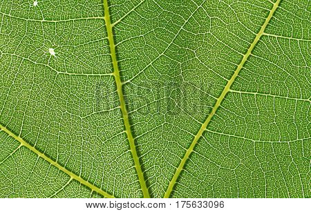 detail structure of backlit texture and pattern of a fig leaf plant, the veins form similar structure to a green tree on macro closeup
