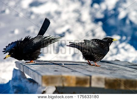Beautiful Alpine Chough On White Snow Bachkgound In High Mountains