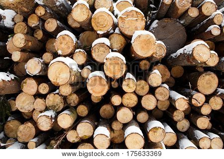 Wall Trunks of large pine trees prepared for export in the winter season. Stacked in stacks of sawn forest covered with snow. Industrial logging of pine trees. Nature is used by people.
