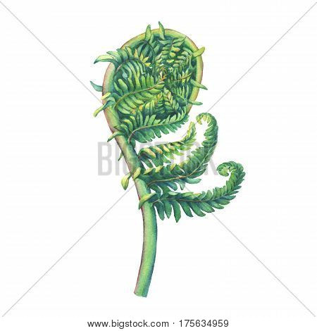 A fern unrolling a young frond. Polypodiopsida. Hand drawn watercolor painting on white background.